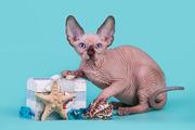 Сфинкс-восхитительный котёнок!