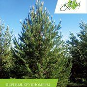 Посадка деревьев крупномеров с гарантией на приживаемость от ЛЦ Клен